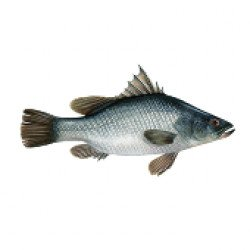 Perch of the Nile Fish